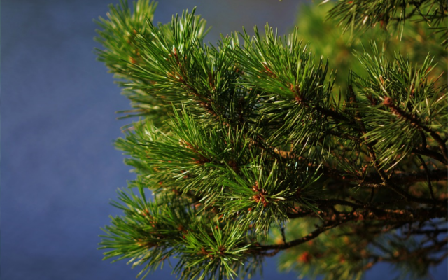 Mountain pine botanical