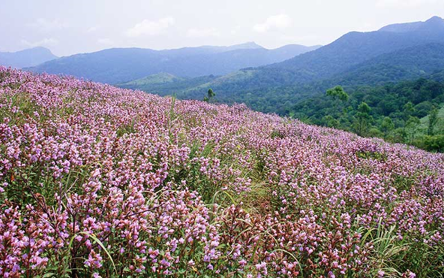 Indian floral fields in the mountains