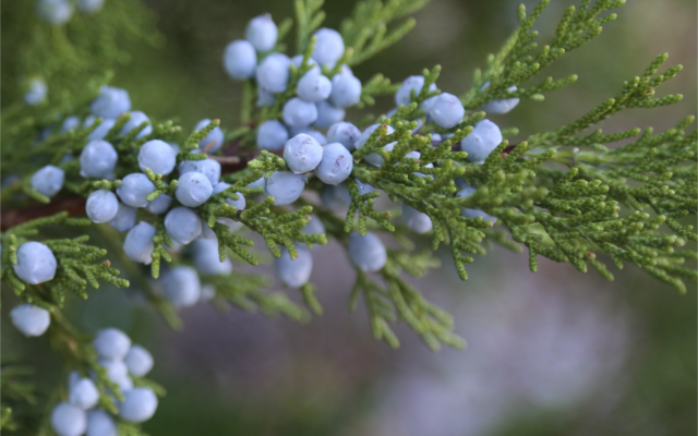 Juniper berries growing in the wild