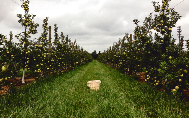Apple orchards at Kongsgaard Gin distillery grounds