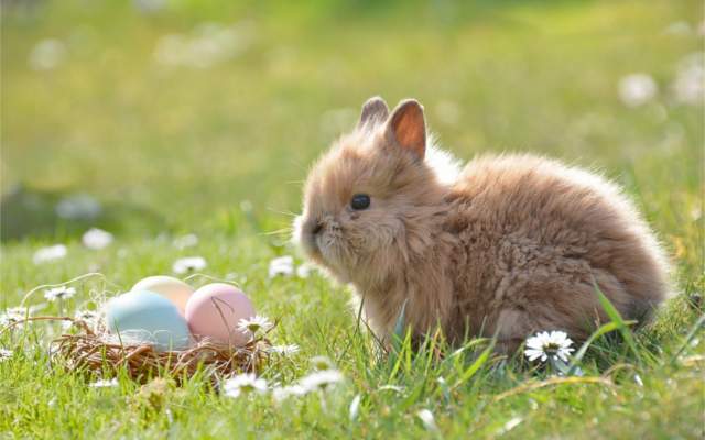 Easter fluffy Bunny rabbit with easter eggs in nest in a daisy field