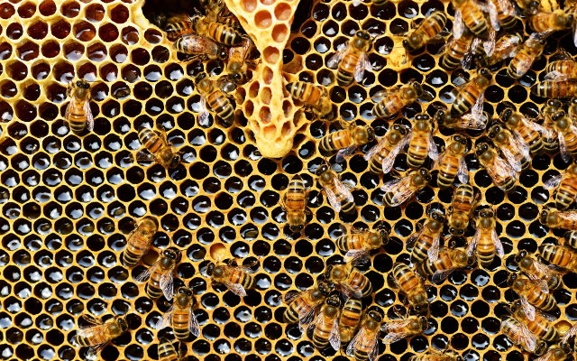 honeycomb honey bees