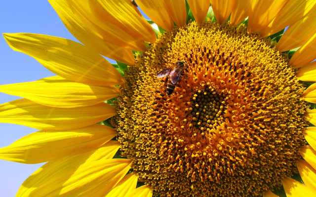 beautiful sunflower with bee collecting pollen