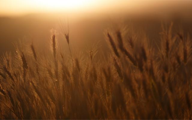 field of rye.png