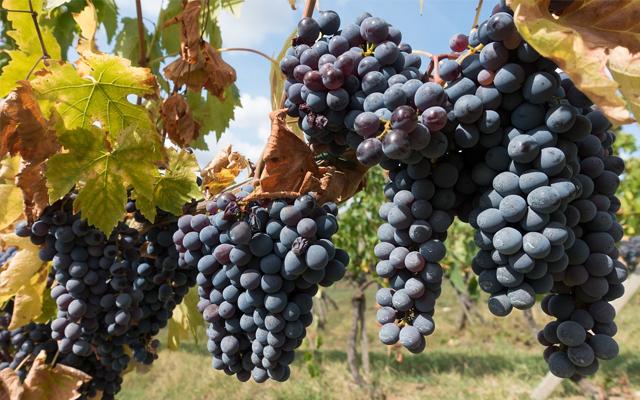 Chianti Grapes Italy