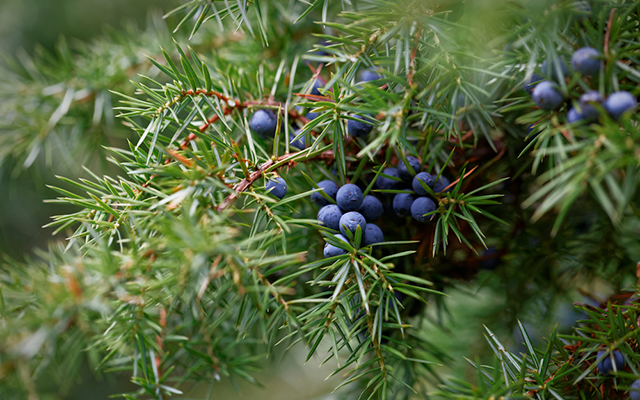 wild juniper.png