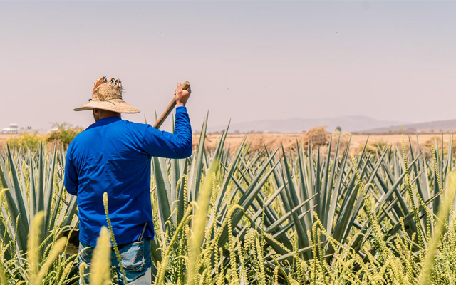 agave+farmer+mexico.png