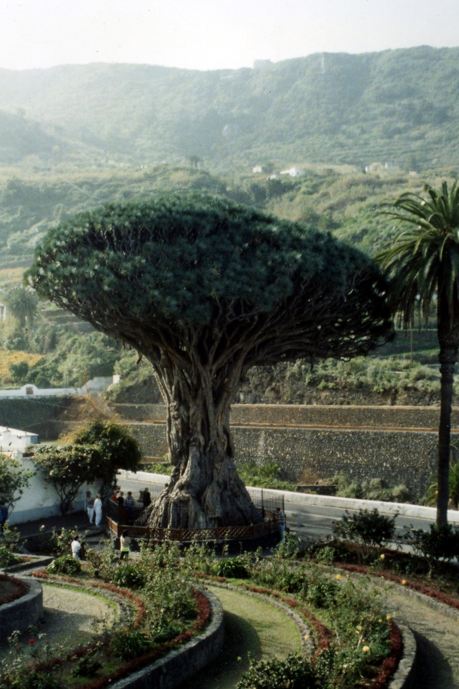 800 year old Dragon Tree in 1980s
