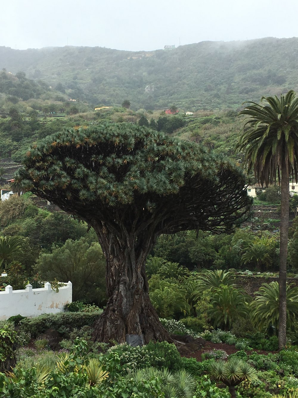 835 year old Dragon Tree.