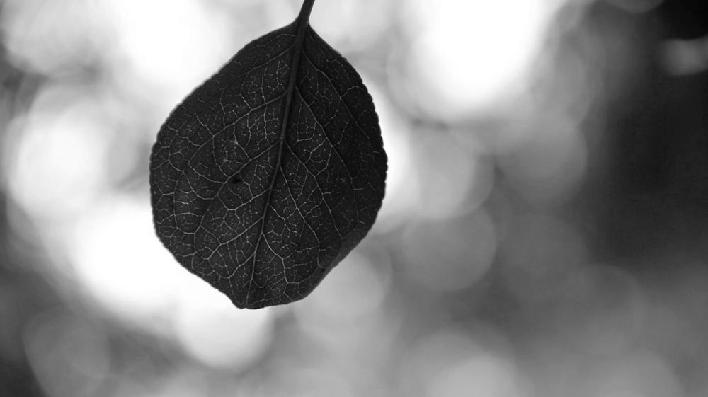 leafbw.jpg