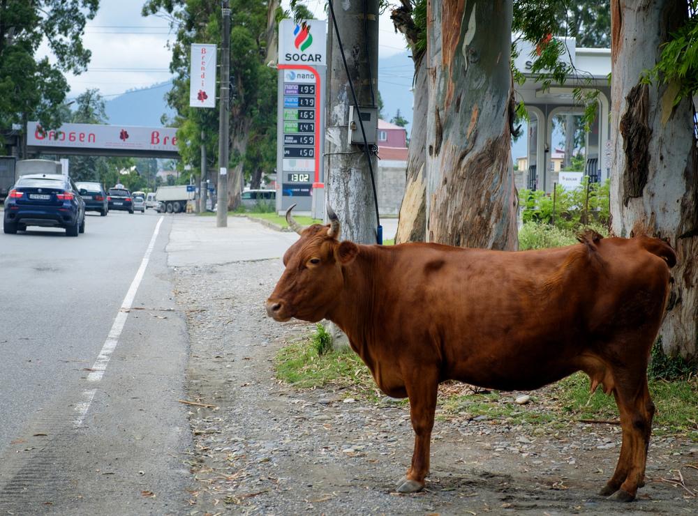 Vache à la station service.