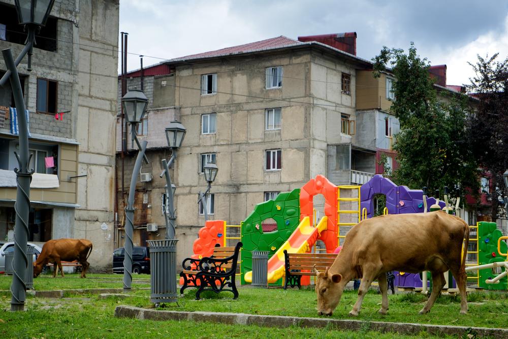Vaches au parc.