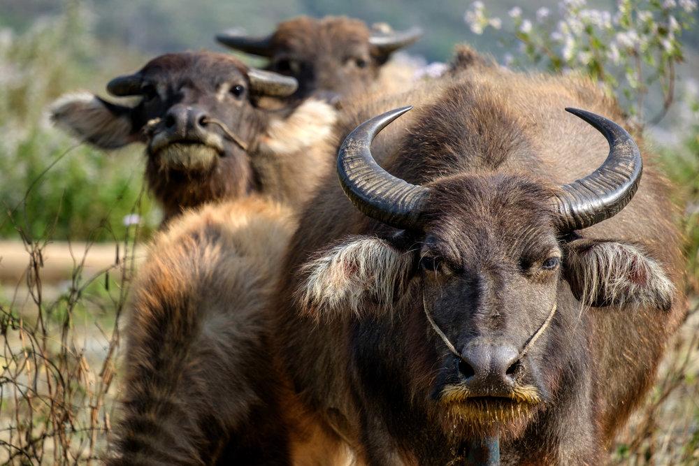 Les bœufs sont partout autour, et même sur, la route.