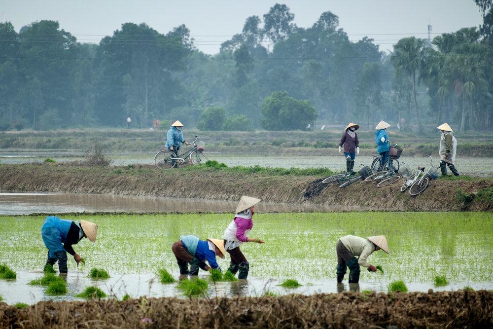 L'éreintant travail nécessaire pour la culture du riz.