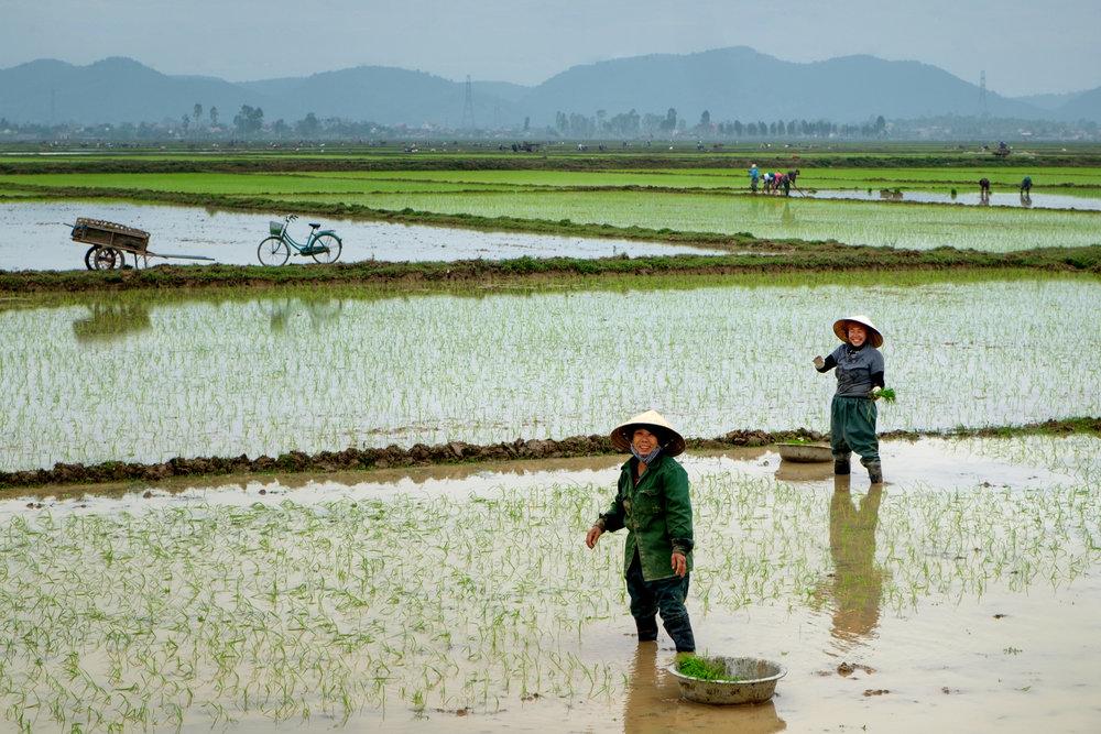 Les travailleurs du riz sont partout aux abords du chemin.