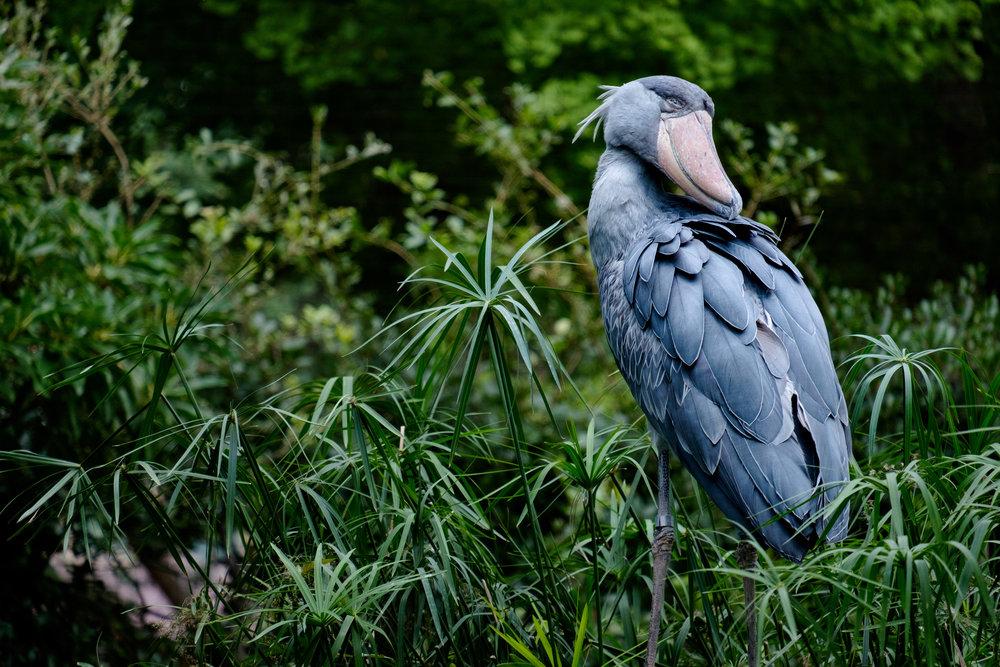 Un bec-en-sabot du Nil au zoo Ueno.
