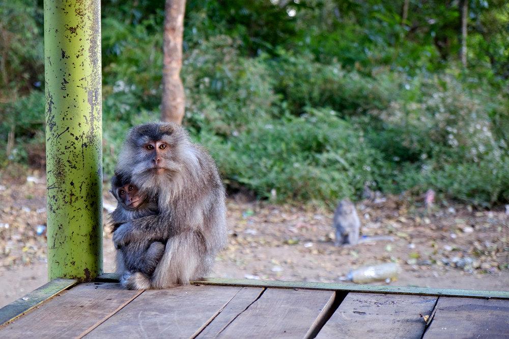 17-09-15---Macaques-(Rinjani,-Indonésie).jpg