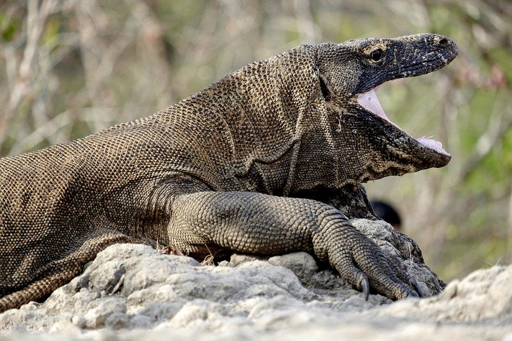 17-09-21---Komodo-Pitoune-(Indonésie).jpg