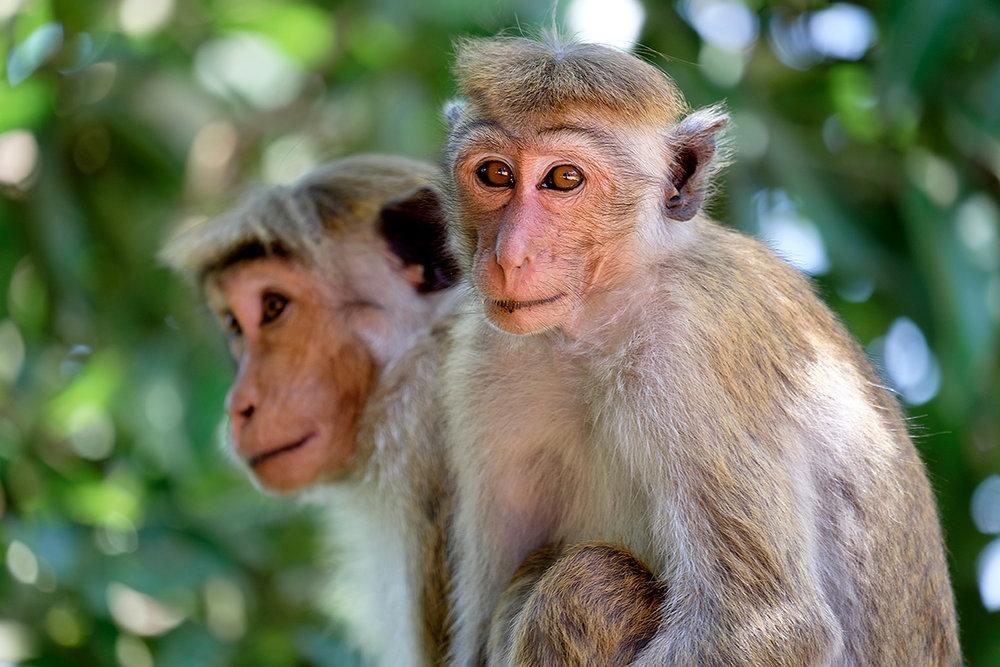 Je ne me tanne jamais de prendre des regards de macaques en photo.