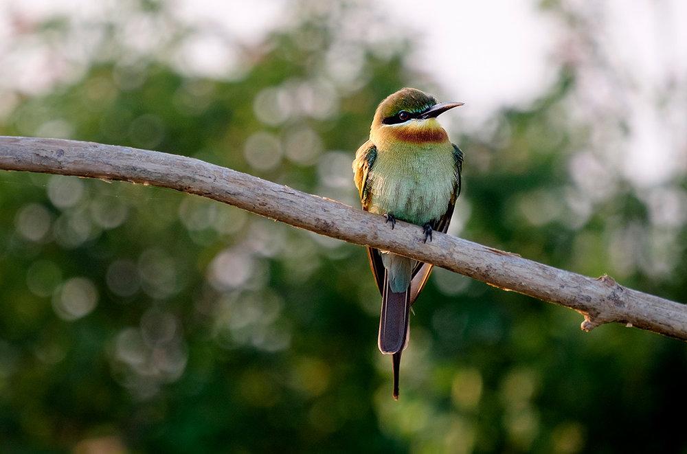 18-02-20---Oiseau-(Uda-Walawe,-Sri-Lanka).jpg