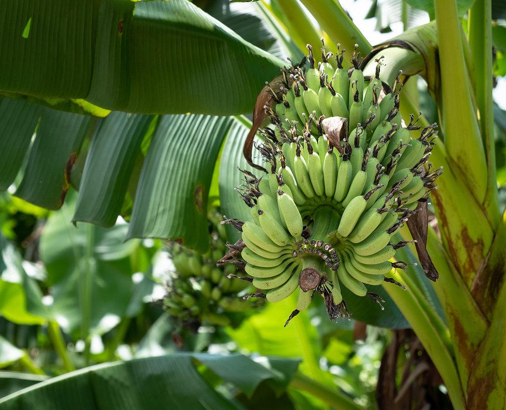 Des bananes, ça pousse vers le haut.