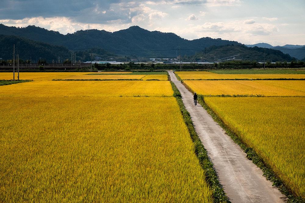 De grandes surfaces de champs de riz prêts à être récoltés.