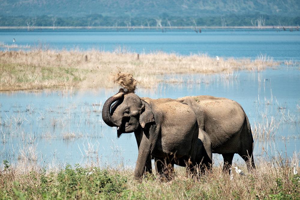 Quelques éléphants, dans le parc national Uda Walawe.