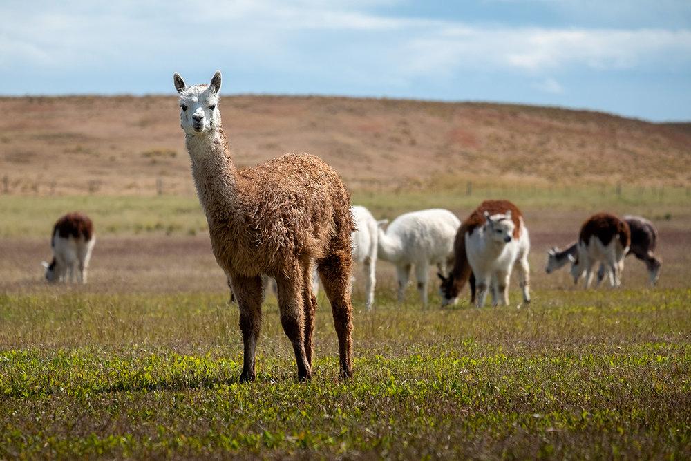 Quelques lamas dans une ferme chilienne.