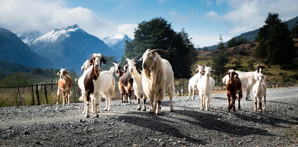 18-12-30---Chèvres-d'Arturo-(Cochrane,-Chili).jpg