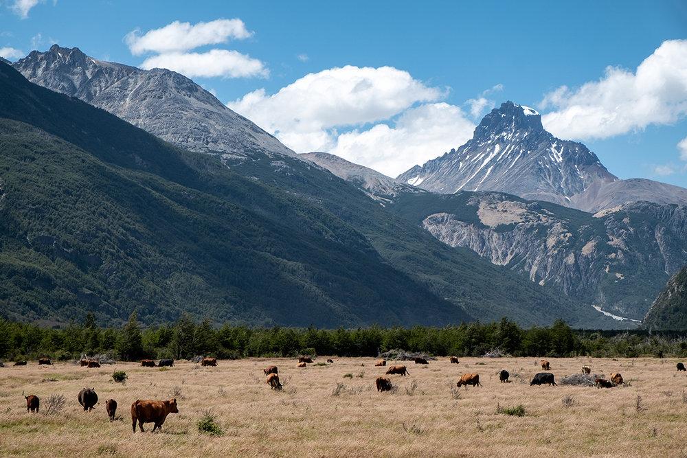 19-01-05---Vaches-Cerro-Castillo-(Chili).jpg