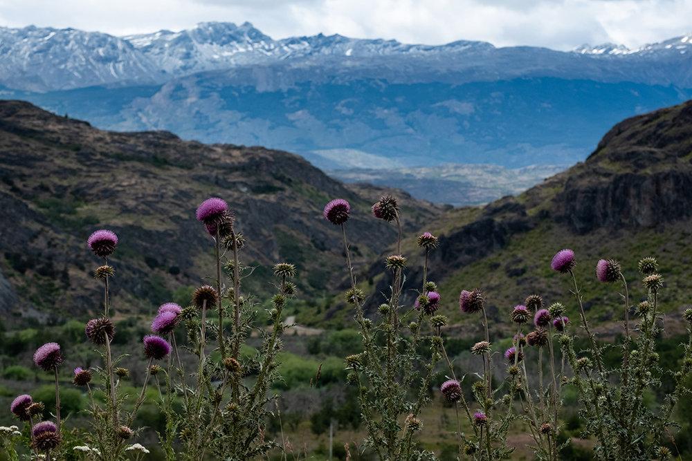 19-01-01---Fleurs-Carretera-(Chili).jpg
