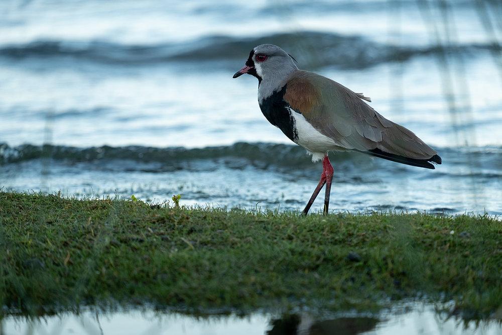 19-02-02---Oiseau-(Villarrica,-Chili).jpg
