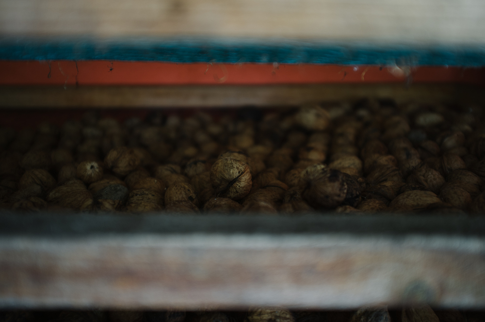 Walnuts drying