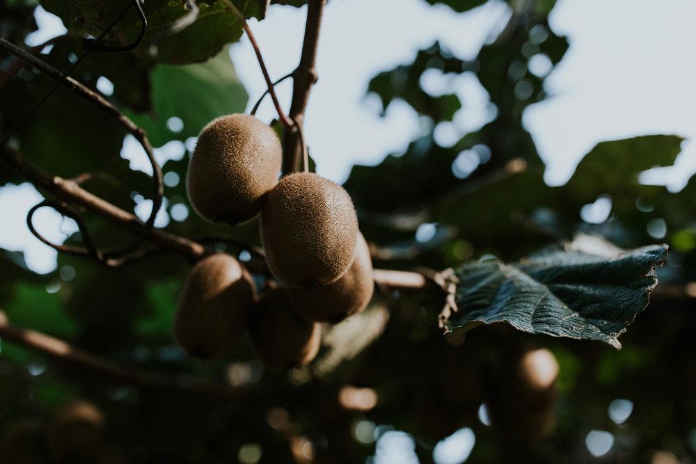 New Zealand destination wedding on kiwi farm, close up of kiwi fruit.