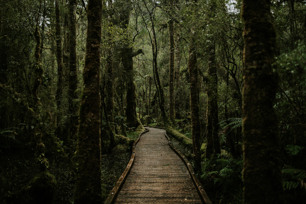 Moss covered trees and boardwalk from trail on West Coast of South Island, New Zealand