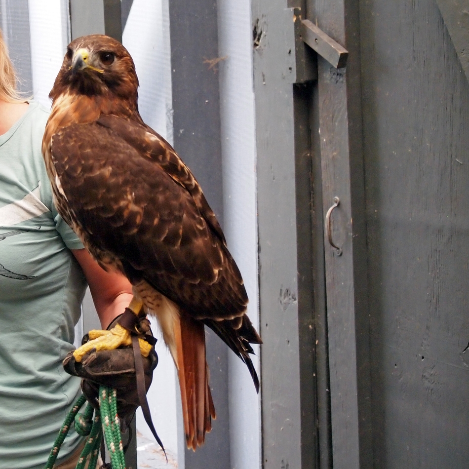 Red-tailed hawk at the Center for Birds of Prey in Awendaw, SC.
