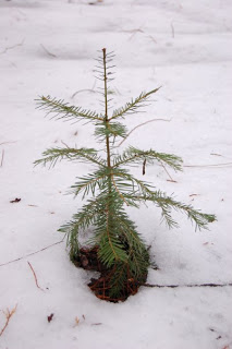 Little+Pine+Tree.jpg
