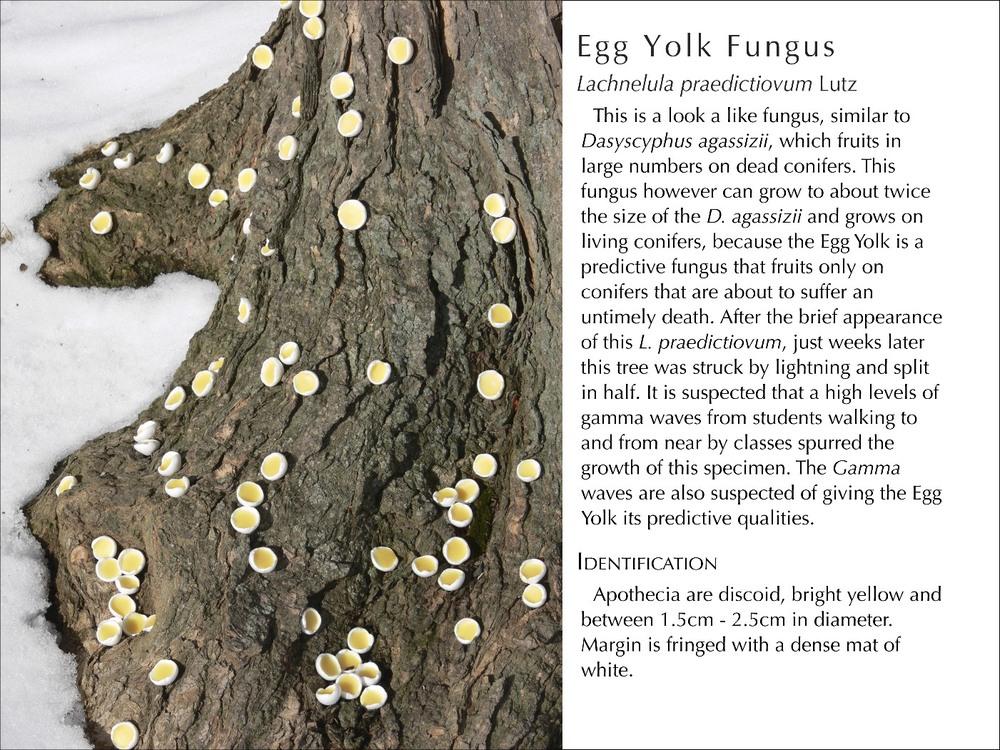 EggYolkFungus_WText.jpg