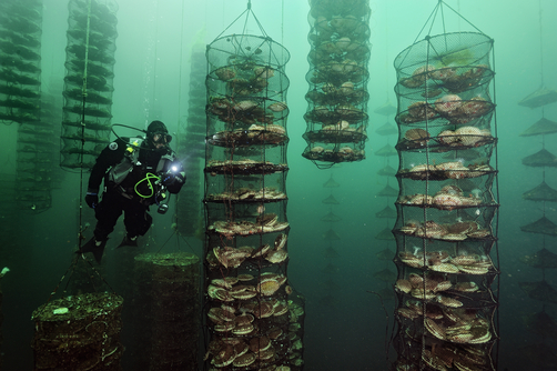 Japanese scallop farm