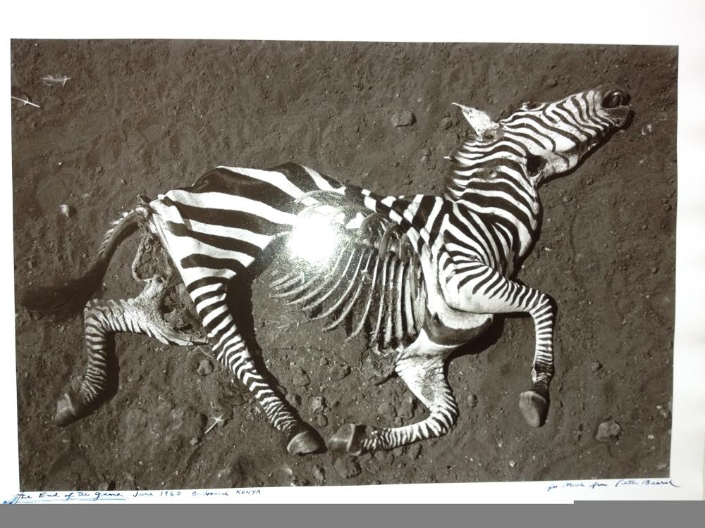 Peter Beard      Zebra (The End of the Game, 1960)     Silver Gelatin print, Signed, and annotated in ink    1989    20 × 16 inches
