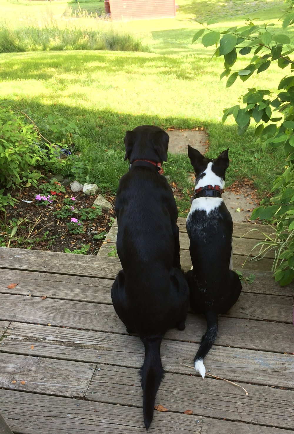 Molly and dunkin surveying their domain