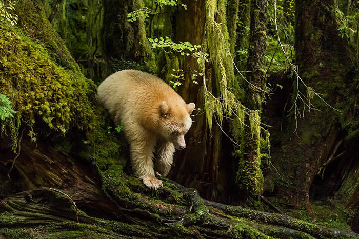Namesake of the Great Bear Rainforest: Kermode bear (Ursus americanus kermodei), also known as the Spirit bear. Photo by Richard Sandor.