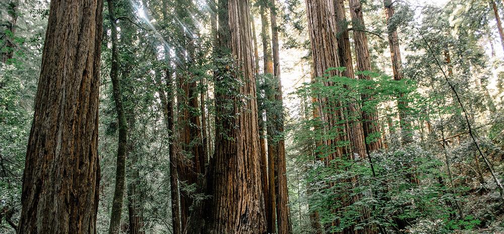 RedwoodForest_hori_CalebJones.png