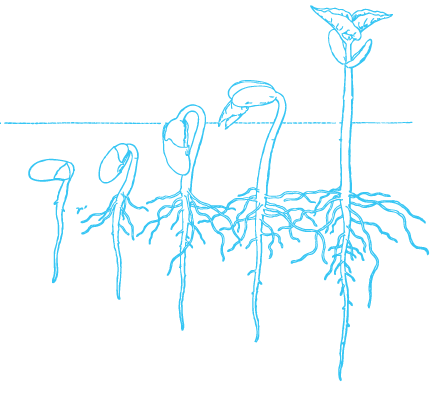GerminationStages.png