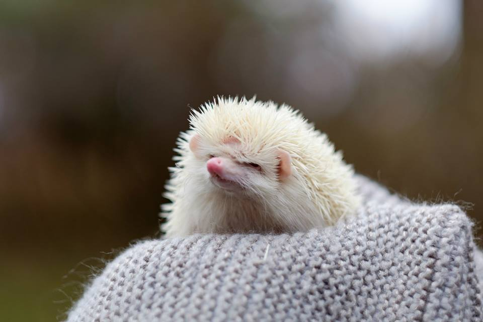 Meet Eminem the hedgehog on Monday, February 29 from 5:30-7:00 pm in the McClelland art gallery.