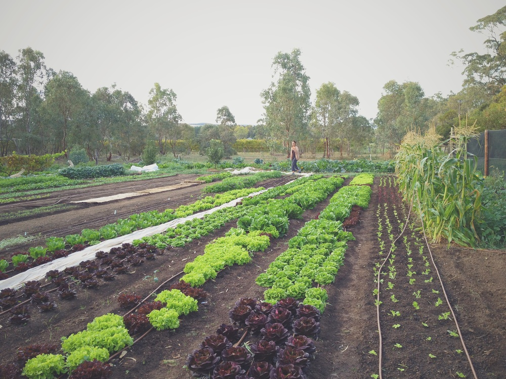Diana bickfords organic farm in McLaren flat
