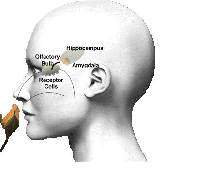 Olfacatory & Limbic System