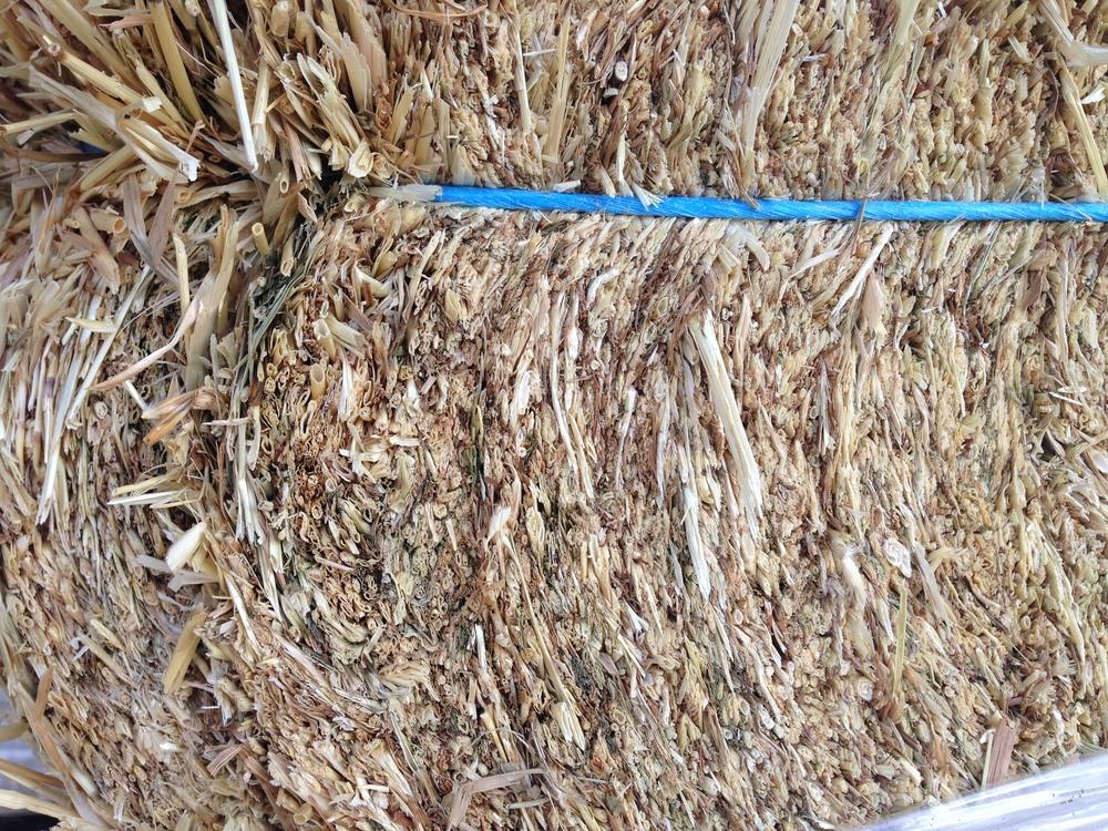 barley (4).JPG