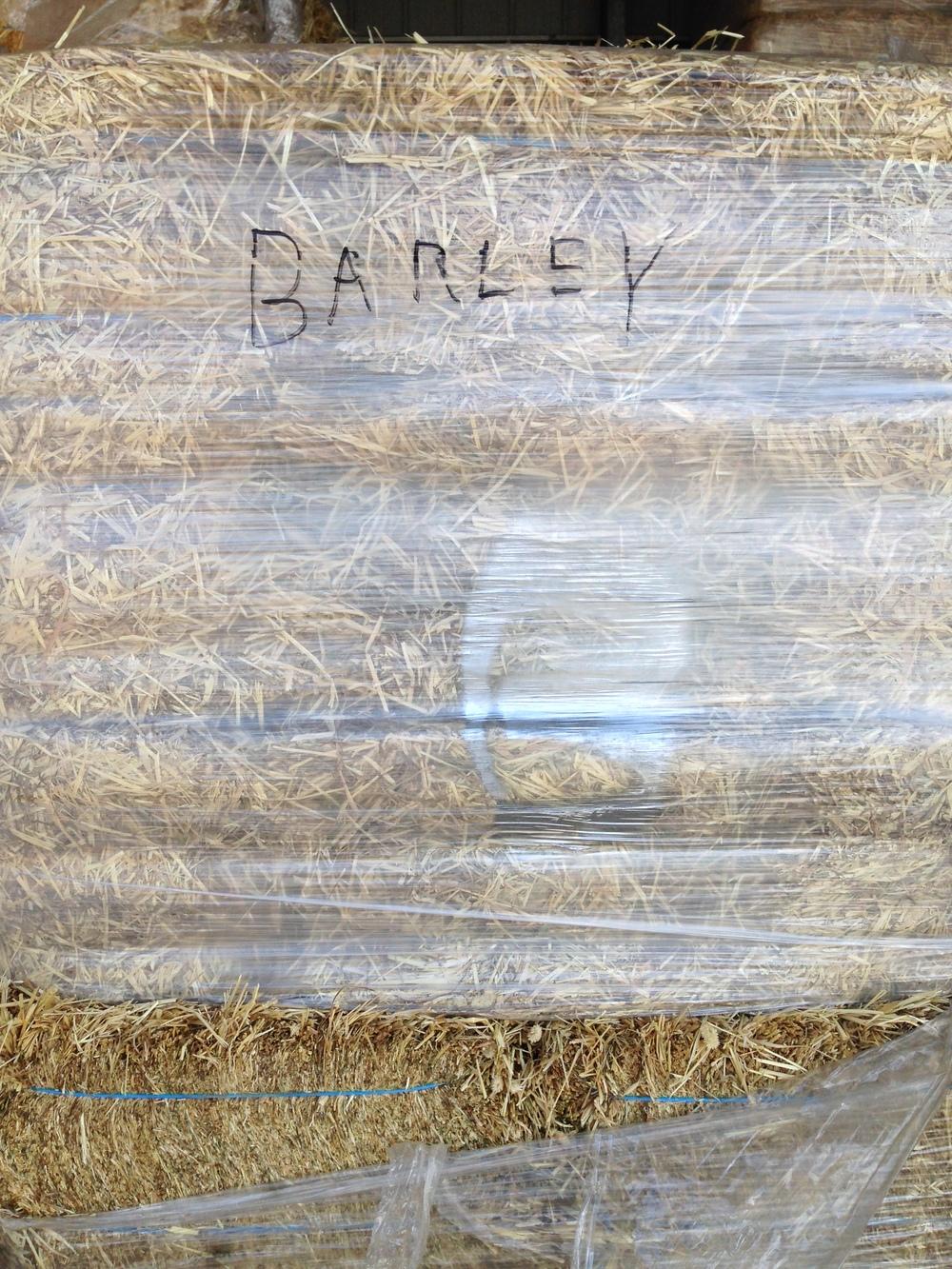 barley (7).JPG