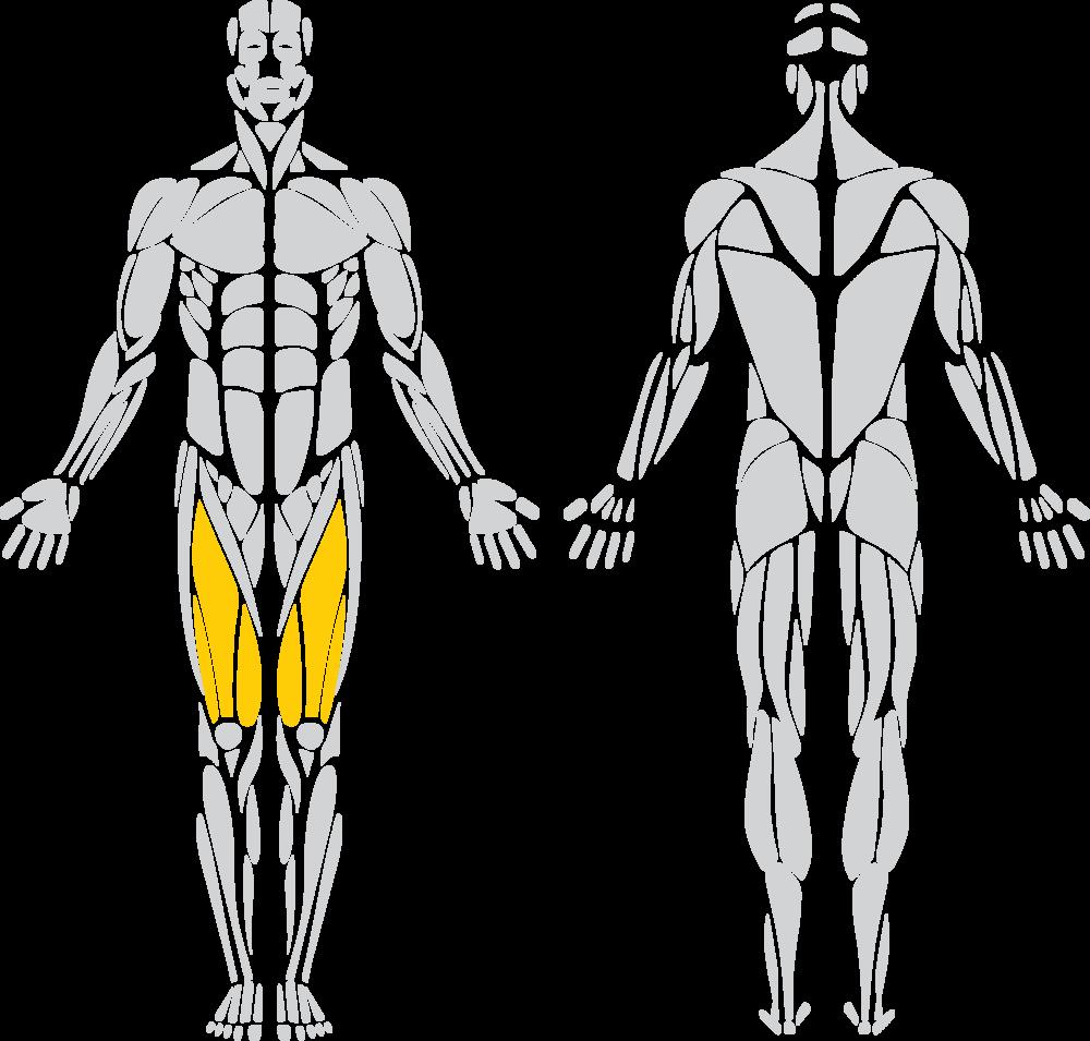 """Quadriceps """"Quads"""""""